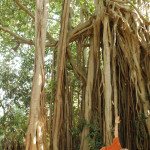 Yoga near Baniyan Tree 2